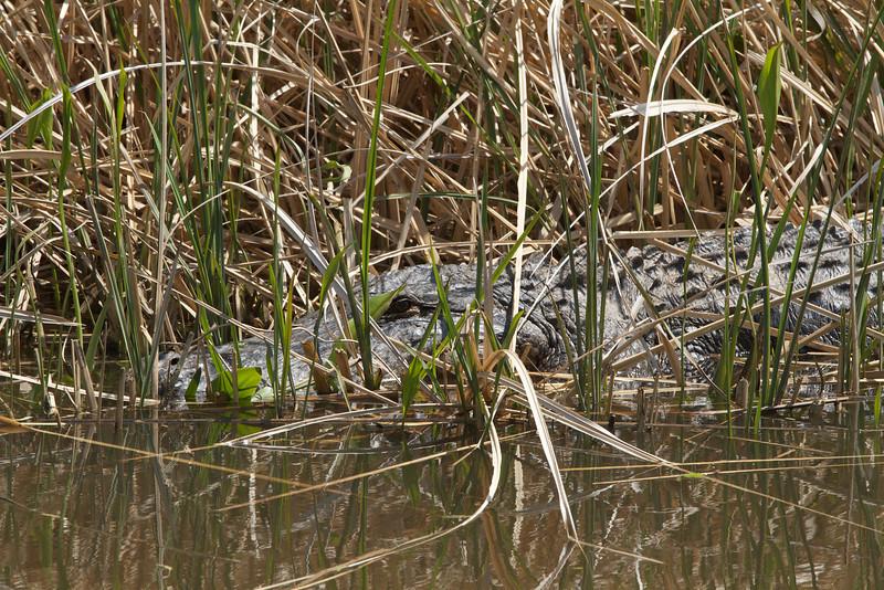 Alligator au soleil