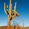 Saguaro, Organ Pipe Cactus National Park, Arizona.<br /> <br /> Carnegiea gigantea <br /> Family: Cactaceae<br /> Common name: saguaro
