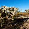 Organ Pipe Cactus National Park, Arizona.<br /> <br /> Opuntia fulgida <br /> Family: Cactaceae<br /> Common name: chain fruit cholla