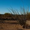 Organ Pipe Cactus National Park, Arizona.<br /> <br /> Fouquieria splendens <br /> Family: Fouquieriaceae<br /> Common name: ocotillo