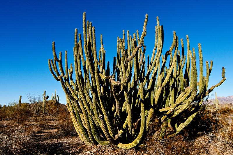 Organ Pipe Cactus, Organ Pipe Cactus National Park, Arizona.<br /> <br /> Stenocereus thurberi <br /> Family: Cactaceae<br /> Common name: organpipe cactus
