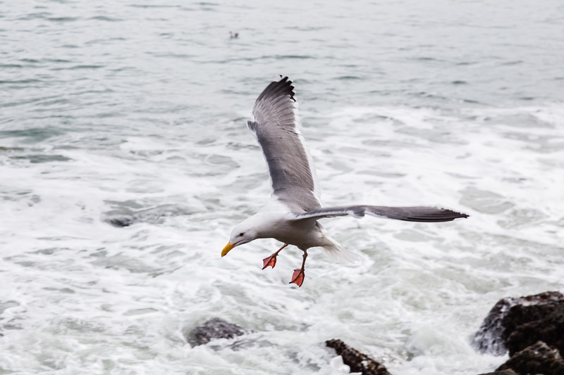 A seagull flaring before touching down on a wet, windy, and cold day.