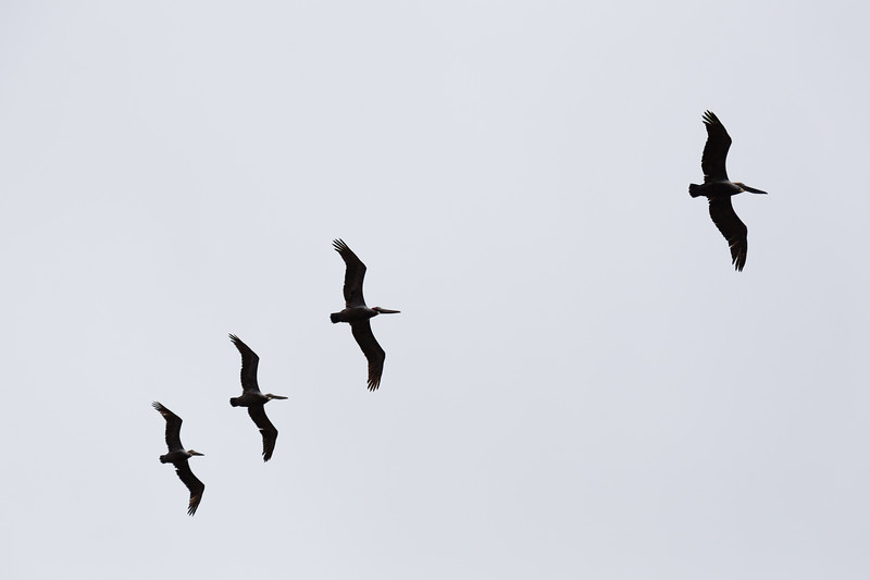 "A pod of Pelicans flying in formation overhead. According to Wikipedia, a group of Pelicans is referred to as a pod: <a href=""http://en.wikipedia.org/wiki/List_of_collective_nouns"">http://en.wikipedia.org/wiki/List_of_collective_nouns</a>"