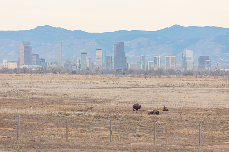 Bison and the City