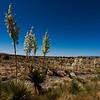 Yucca, near Carrizoz, New Mexico.