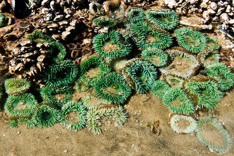 Sea anemone, Arcadia Beach State Recreation Site, Oregon.