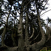 Octopus Tree, Cape Meares State Park, Oregon Coast.