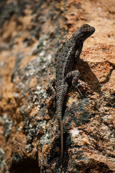 Lizzard on rock, Clarno Unit, John Day Fossil Beds National Monuments.