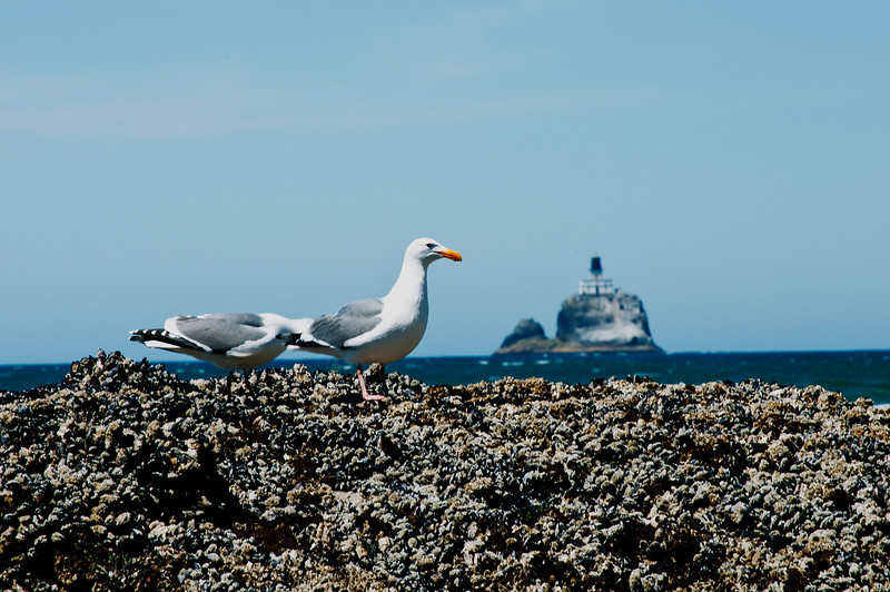 Seagulls and Terrible Tilly Lighthouse in the distance, Indian Beach, Ecola State Park, Oregon.