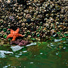 Sea stars and sea anemones at tidal pools, Indian Beach, Ecola State Park