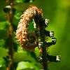 Fiddlehead fern, Ecola State Park.