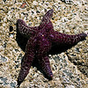 Sea Star, Indian Beach, Ecola State Park.