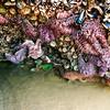 Sea stars and sea anemone, Arcadia Beach State Recreation Site, Oregon.
