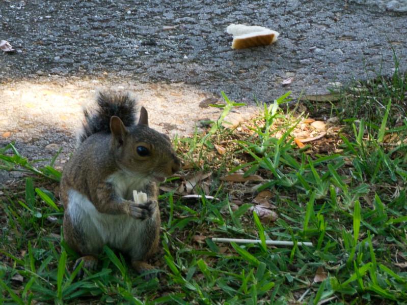 A squirrel in White Point Garden eating bread.