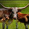 Texas longhorns.
