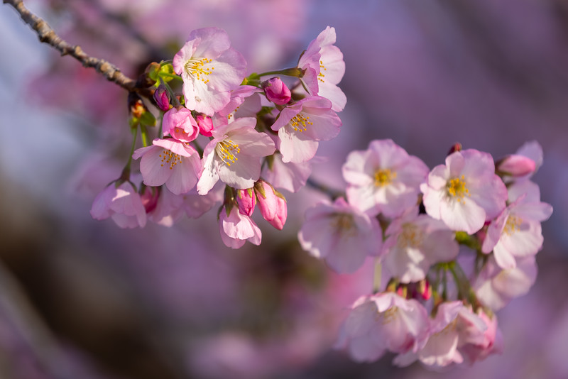 While the majority of the cherry trees by the Tidal Basin yield white and light pink flowers, there are a few that grow pink flowers that are richer and bolder in color!  These trees are quite a sight to behold!  And very special as there are very few of them.