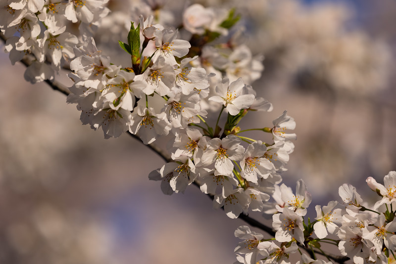 We also enjoyed looking at the cherry blossoms from up close.  They look very small and delicate but have survived some recent nasty weather!  The small bunches of flowers that seem to sprout directly from thick trunks and branches are also quite beautiful to see.