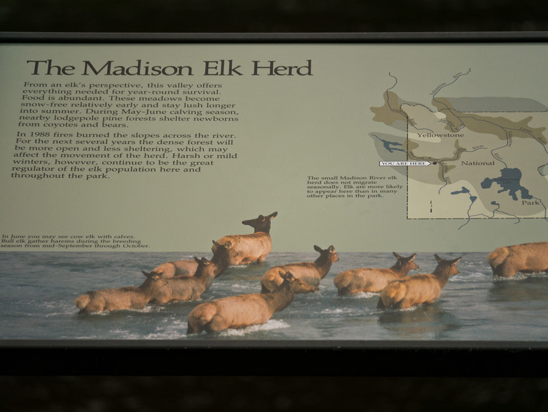 The Madison Elk Herd