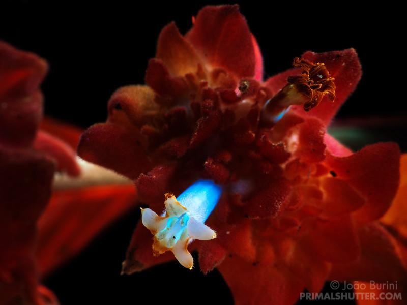 Psychotria ruelliifolia