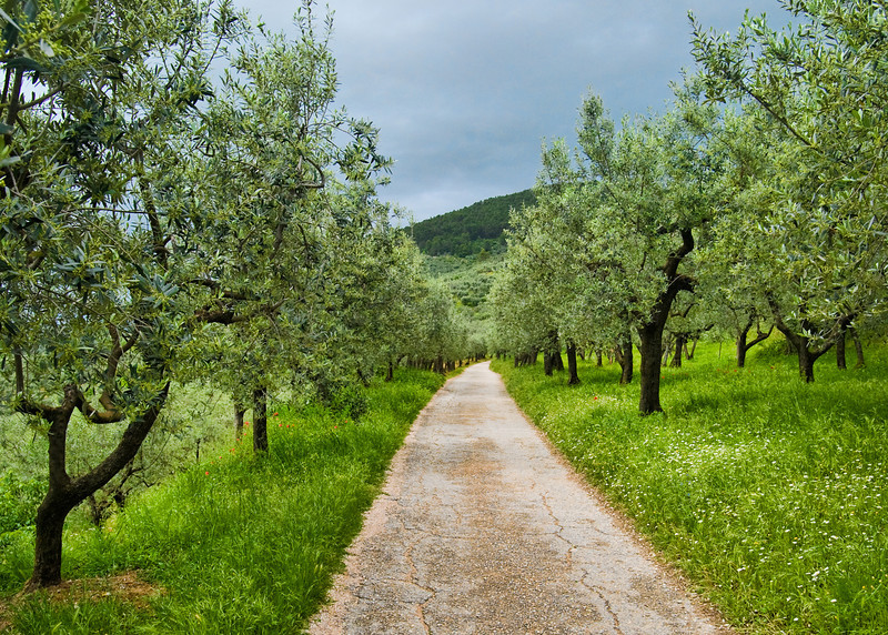 "Via di Olivi, a typical olive lined ""white road"" through Umbria.About to storm."