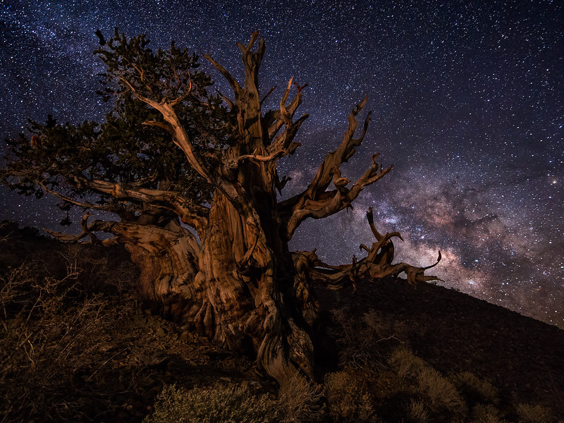 Ancient Bristlecone and Milky Way, Schulman Grove, White Mountains, CA
