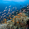 Anthias, fusiliers and chromis