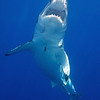 Guadalupe 0909 : Great White sharks off the coast of Baja California