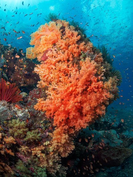 Soft coral and Anthias