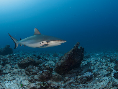Grey reef shark with remora