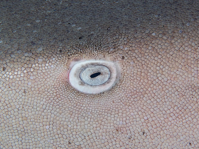 Eye of a nurseshark