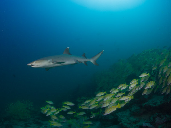 Whitetip reef shark and snapper school