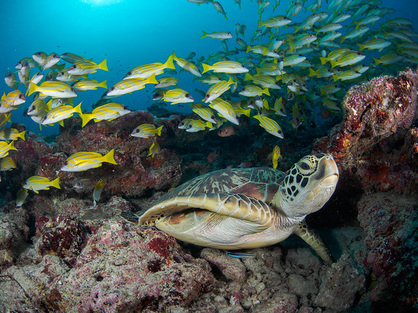 Green turtle and blue striped snappers