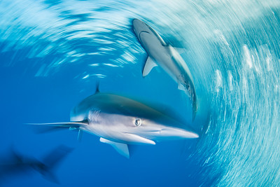 Silky Shark Dreams