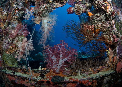 The superstructure of the Shinkoku Maru has become a riot of soft corals and other marine growth.