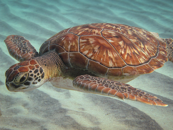 Sea Turtle ~ Curacao