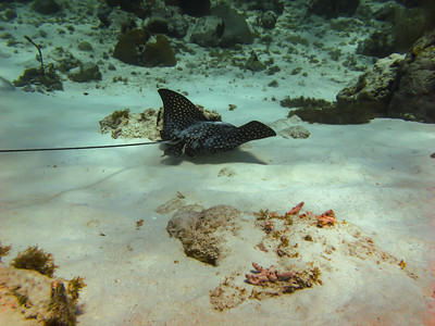 Spotted Egale Ray ~ Little Corn Island, Nicaragua