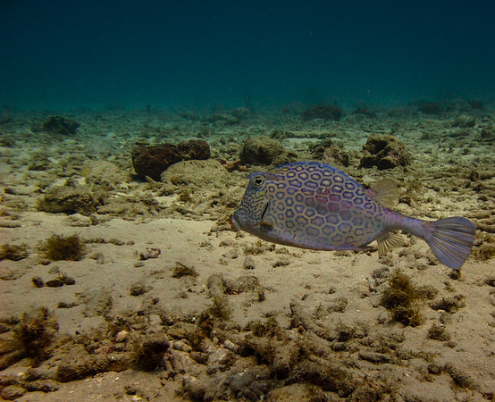 Honeycomb Cowfish ~ Curacao