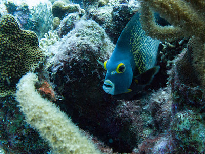 Angelfish ~ Curacao