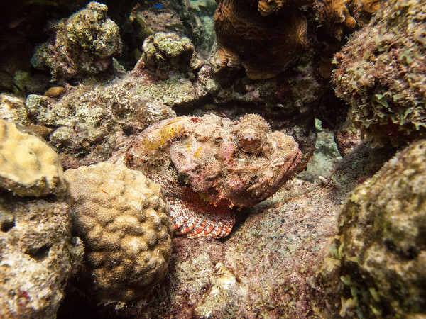 Scorpion Fish ~ Curacao