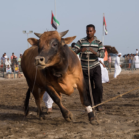 Bull Fighting - Bull Butting Fujeirah