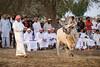 Bull Fighting - Bull Butting Fujeirah