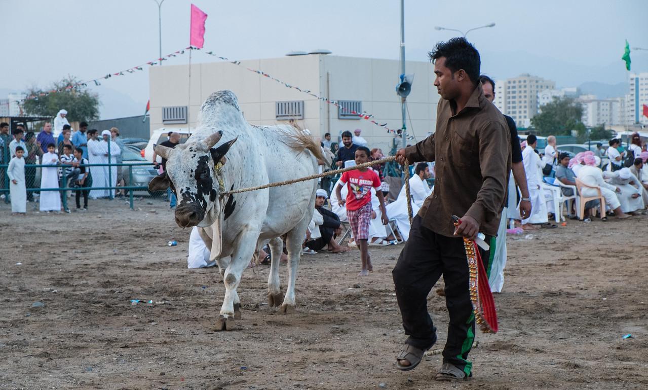 Bull Fighting - Bull Butting, Fujeirah, UAE