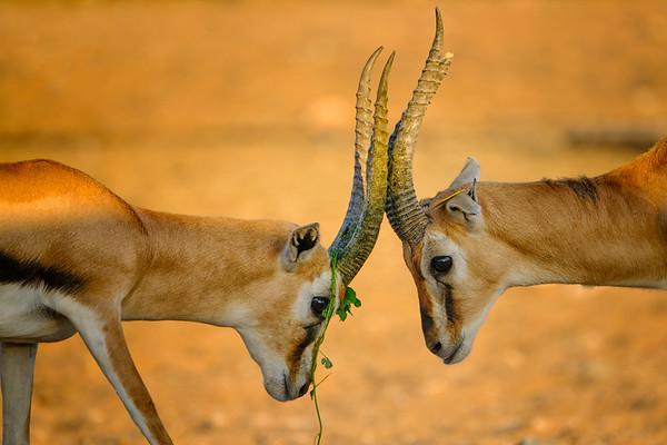 Pair of Thomson gazelle head on at the Al Ain Zoo