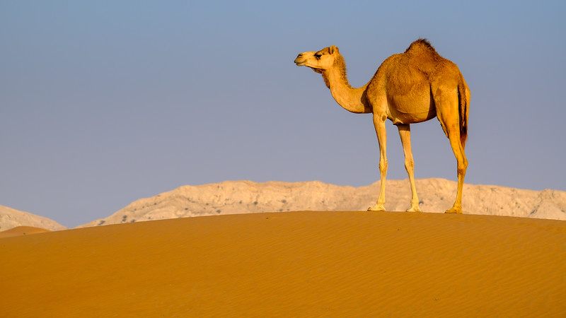 Camel on the lookout, Dubai