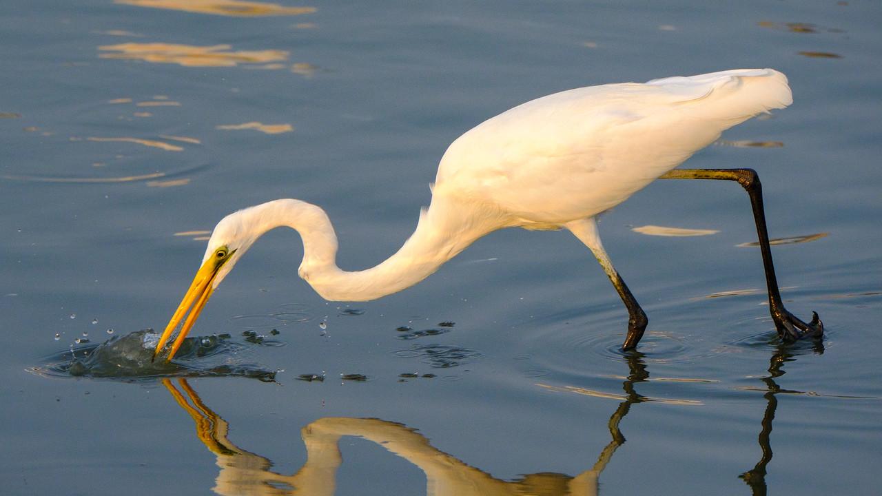 Great White Egret fishing at Ras al Khor wildlife refuge