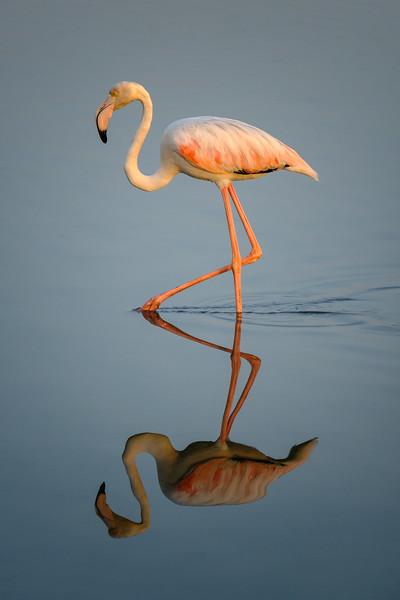 Wading Flamingo