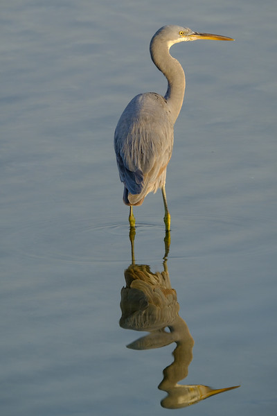 Heron on the look-out