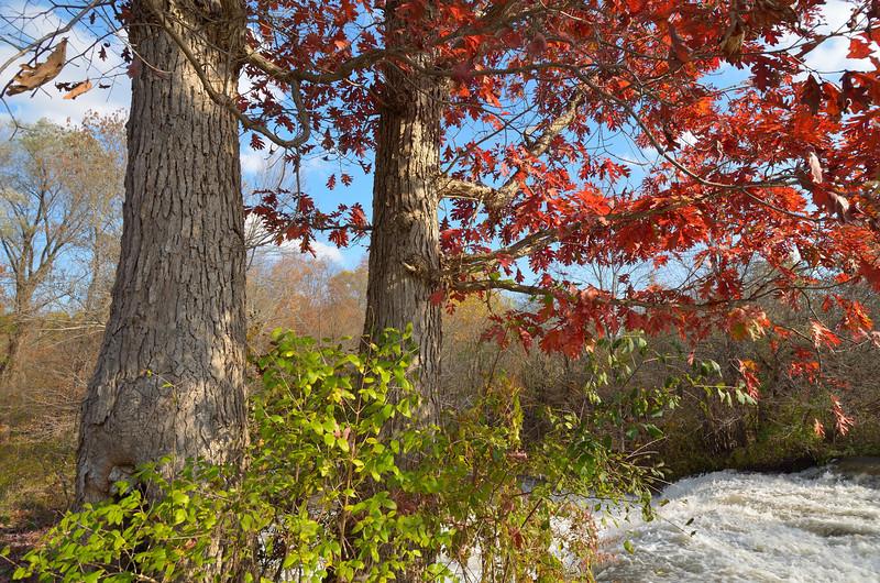 Red oaks in late fall.  Nikon D5100 (November 2011).