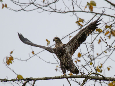 Immature Bald Eagle.