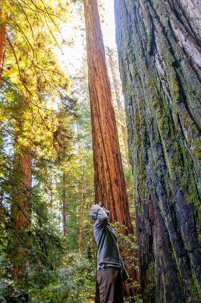 Redwoods State and National Parks